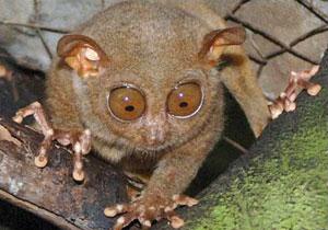 A Philippine tarsier in Bohol