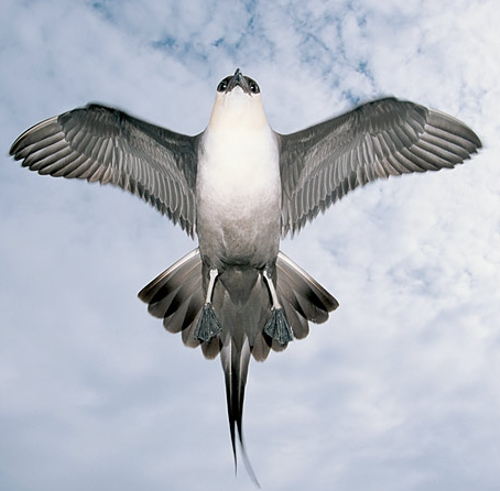 The Arctic Skua, or the Pirate Bird