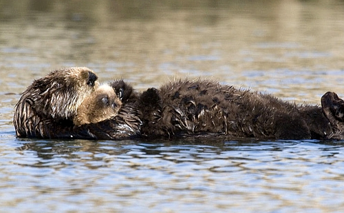 A sea otter floats with her pup