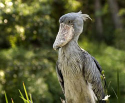 The Shoebill