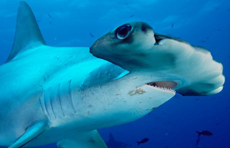 The shark's hammer-shaped head helps them with hunting
