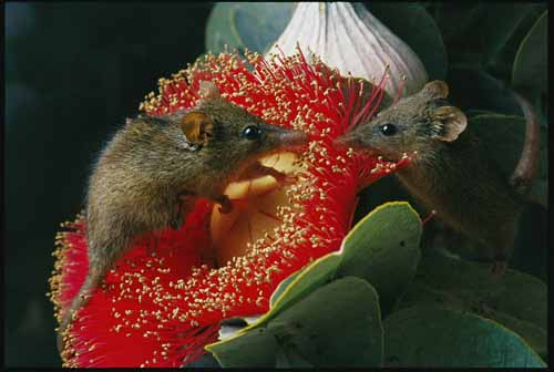 Two Honey Possums sharing a flower