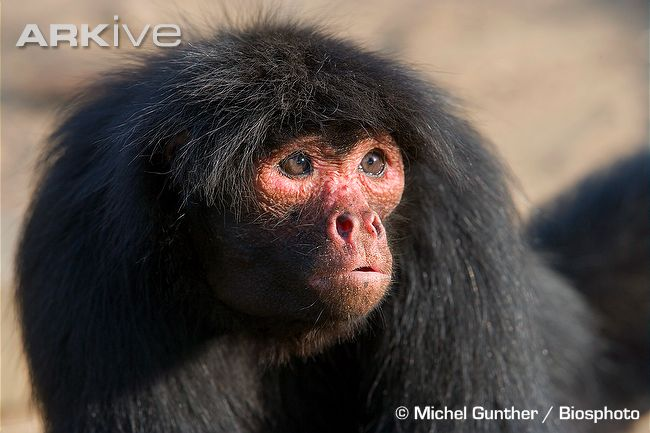 """They're also sometimes called """"Red Faced Monkeys"""" because of the facial colour of some individuals"""