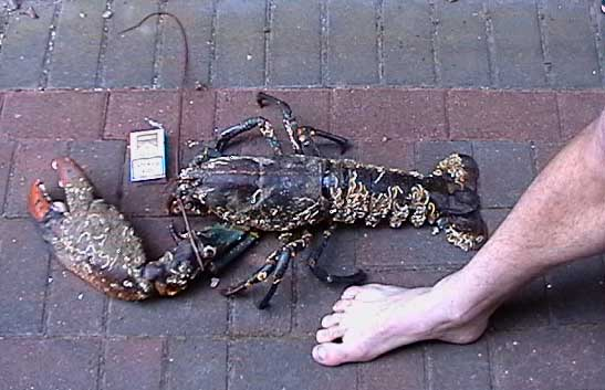 The largest lobster was caught near the shores of America - it was 80 cm long and weighed 15,5 kg