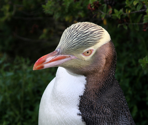 The Yellow-eyed Penguin